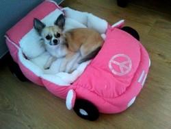 Eva, chien Chihuahua