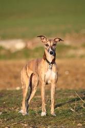 Eva , chien Whippet