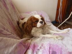 Eva, chien Cavalier King Charles Spaniel