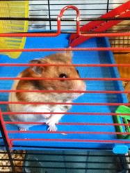 Eva, rongeur Hamster