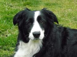 Eva De L Epinay, chien Border Collie