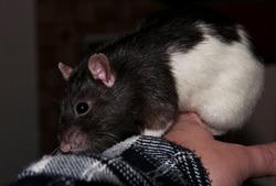 Eva La Patate, rongeur Rat