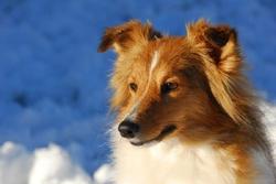 Evade, chien Berger des Shetland