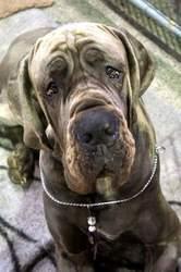 Evangel'Lion Della Baia Azzurra, chien Dogue allemand