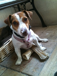 Eve, chien Jack Russell Terrier