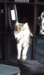Eve, chat Maine Coon