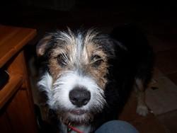 Eve, chien Griffon fauve de Bretagne