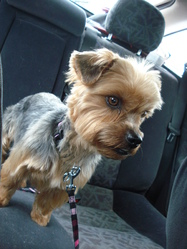 Eve, chien Yorkshire Terrier