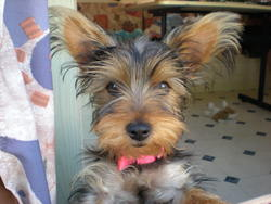 Eve, chien Yorkshire Terrier