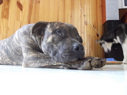 Even, chien American Staffordshire Terrier