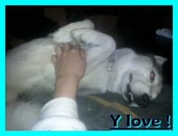 Even, chien Husky sibérien