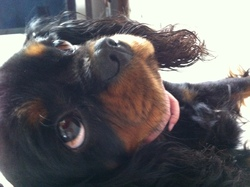 Evène, chien Cavalier King Charles Spaniel