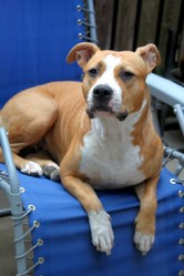 Ever, chien American Staffordshire Terrier