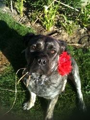 Ever So Pretty, chien Dogue de Majorque
