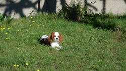 Evidence, chien Cavalier King Charles Spaniel