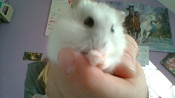 Evie, rongeur Hamster