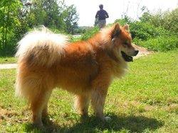 Evolt, chien Eurasier