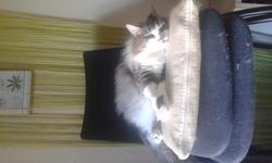 Evy, chat Norvégien