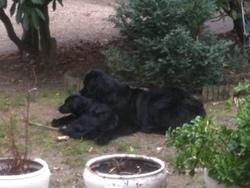 Ewilan, chien Terre-Neuve