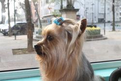 Ewok, chien Yorkshire Terrier