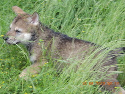 Ewok De La Louve Blanche, chien Chien-loup tchèque