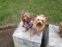 Ewok Et Frezzia, chien Yorkshire Terrier
