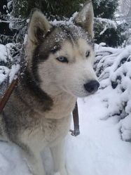 Ewoky, chien Husky sibérien