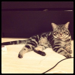 Exa, chat Maine Coon