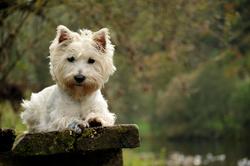 Excel, chien West Highland White Terrier
