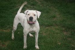 Exo, chien Dogue argentin