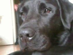 Expresso, chien Labrador Retriever