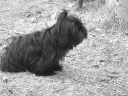 Exta, chien Lhassa Apso