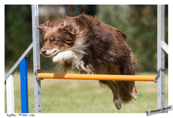 Extrem, chien Berger australien