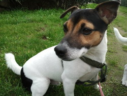 Extrem, chien Jack Russell Terrier