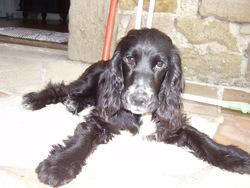 Eyba, chien Cocker anglais