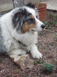Eyka, chien Berger australien