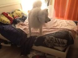 Eyko, chien Samoyède