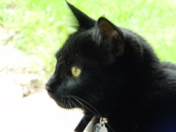 Eylia, chat Européen