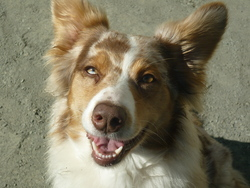 Eyota, chien Berger australien