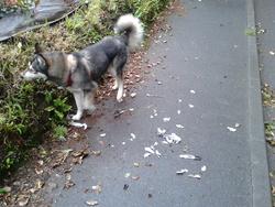 Eyra, chien Husky sibérien