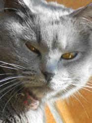 Eyra, chat Chartreux