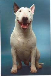 Eyron, chien Bull Terrier