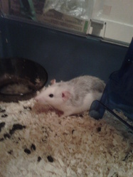 Ezekiel, rongeur Rat