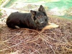 F'Edge, chien Berger allemand