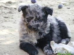Estike Szikra, chien Mudi