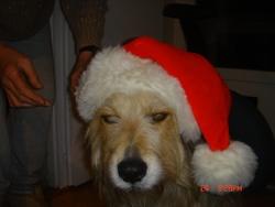 Elsa, chien Berger de Picardie