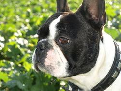Léon, chien Bouledogue français