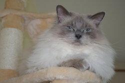 Basile, chat Ragdoll