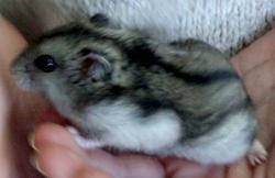 Miza, rongeur Hamster