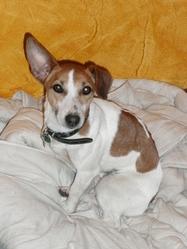 Split, chien Jack Russell Terrier